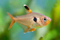 Pesci dell'acquario Rosy Tetra Cassa d'acqua Un bello acquario d'acqua dolce piantato verde con i tetra pesci (macro, Immagine Stock