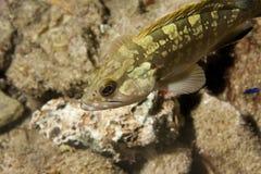 Pesci dell'epinefolo Fotografia Stock Libera da Diritti