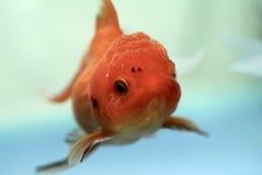 Pesci dell'oro Fotografia Stock