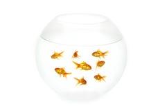 Pesci dell'oro in ciotola Immagine Stock Libera da Diritti