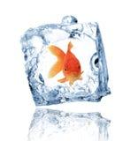 Pesci dell'oro in cubo di ghiaccio Fotografia Stock Libera da Diritti