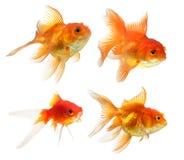 Pesci dell'oro isolati su priorità bassa bianca Immagini Stock Libere da Diritti