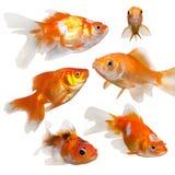 Pesci dell'oro isolati su una priorità bassa bianca Fotografia Stock Libera da Diritti