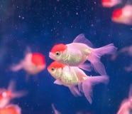 Pesci dell'oro sopra acqua Fotografia Stock