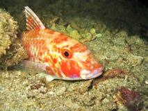 Pesci della capra Immagini Stock