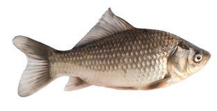 Pesci della carpa Fotografia Stock Libera da Diritti