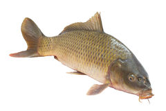Pesci della carpa Immagine Stock Libera da Diritti
