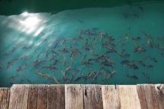 Pesci della folla Immagine Stock