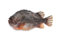 Pesci della molva immagine stock