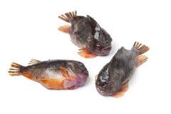 Pesci della molva fotografie stock