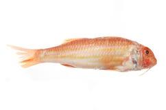 Pesci della muggine rossa Fotografia Stock