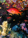 Pesci della scogliera a Elphinstone Fotografia Stock Libera da Diritti