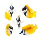 Pesci della scogliera, rabbitfish giallo del fronte della volpe isolato sopra Immagini Stock