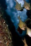 Pesci della spazzatrice Fotografia Stock