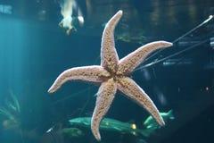 Pesci della stella Immagini Stock Libere da Diritti