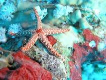 Pesci della stella Immagine Stock