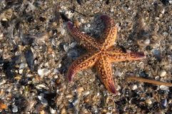 Pesci della stella & shells11 Fotografia Stock Libera da Diritti