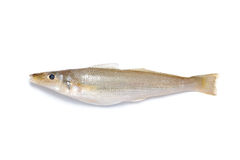 Pesci della zanzara Immagine Stock