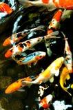 pesci dello stagno Fotografia Stock