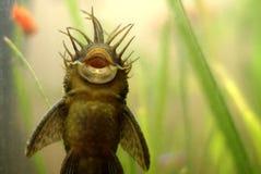 Pesci di Ancistrus Immagine Stock Libera da Diritti
