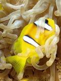Pesci di Anemone fotografie stock
