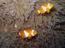 Pesci di Anemone Immagini Stock