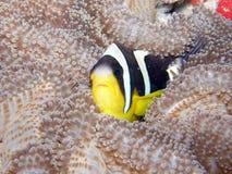 Pesci di Anemone di Clarks Seychelles Fotografia Stock