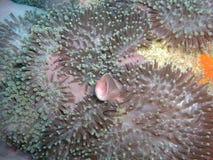 Pesci di anemone rosa Fotografia Stock Libera da Diritti