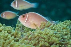 Pesci di anemone rosa fotografie stock libere da diritti