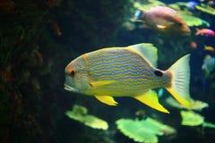 Pesci di angelo Fotografia Stock