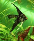 Pesci di angelo Fotografie Stock Libere da Diritti