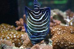 Pesci di angelo blu Fotografia Stock
