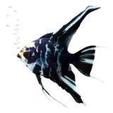 Pesci di angelo con le bolle fotografia stock