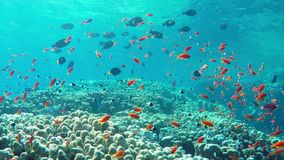 Pesci di Anthias stock footage