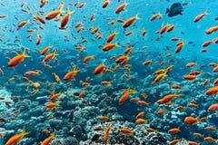 Pesci di Anthias Fotografia Stock Libera da Diritti