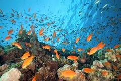 Pesci di anthias del banco sulla barriera corallina immagini stock libere da diritti