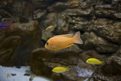 Pesci dell'acquario Immagini Stock