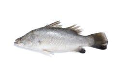 Pesci di Barramundi Fotografia Stock