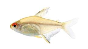 Pesci di bentosi di Hyphessobrycon Immagine Stock Libera da Diritti