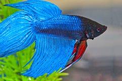 Pesci di Betta Fotografie Stock Libere da Diritti