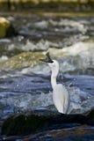 Pesci di cattura del piccolo Egret Immagini Stock