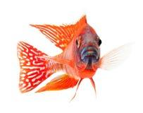 Pesci di cichlid rossi, pesci rossi vermigli del pavone fotografia stock libera da diritti