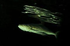 Pesci di cobia Immagine Stock