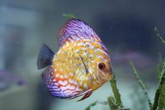 Pesci di colore in acquario immagini stock libere da diritti