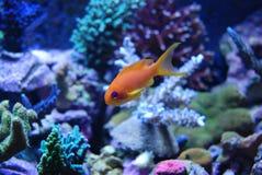 Pesci di colore giallo dell'acqua salata Fotografia Stock Libera da Diritti