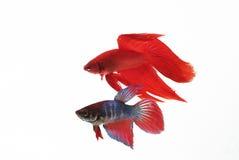 Pesci di combattimento Fotografia Stock Libera da Diritti