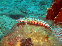 Pesci di corallo fotografia stock