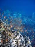 Pesci di corallo del corallo e della colonia. Fotografia Stock