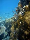 Pesci di corallo del corallo e della colonia. Immagini Stock