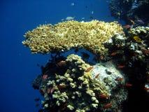 Pesci di corallo del corallo e della colonia. Fotografie Stock